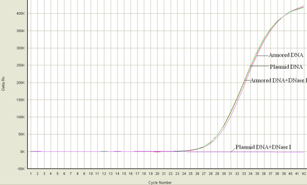 Durability of Armored DNA . Equal amounts of armored DNA and plasmid DNA (extracted from the armored DNA) were incubated with DNase I (0.1 units/μl) at 37°C for 60 min. After digestion, the samples were analysed by real-time PCR. The armored DNA was completely resistant to DNase I digestion, whereas plasmid DNA was degraded completely. Armored DNA and plasmid DNA indicate samples without DNase I digestion.
