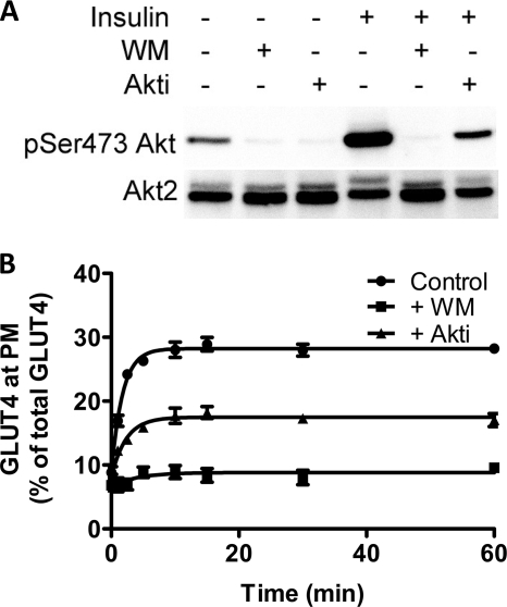 Akt control of the transition from basal to insulin-stimulated state. A , Akt activation was determined by blotting for phosphoserine 473 in basal cells and cells treated with insulin ( upper panels ). Both basal and insulin-treated cells were also treated with wortmannin ( WM ) and Akti as indicated. Akt2 levels were determined from the same solubilized cell lysates ( bottom panels ). B , rate of transition from the basal to the insulin-stimulated state in the absence (●) and presence of wortmannin (■), and Akti (▴) was determined in fixed cells using HA primary antibody and an Alexa 488 secondary antibody. Each point represents the mean ± S.E. from three experiments. In some cases error bars are smaller than the symbol.