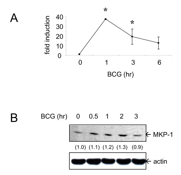BCG induces MKP-1 expression . (A) Human monocytes were treated with BCG (MOI = 1 CFU/cell) for the indicated time points and RNA was harvested. MKP-1 level was assayed by using QPCR. Results are shown as mean ± SD from 3 different donors. * = p