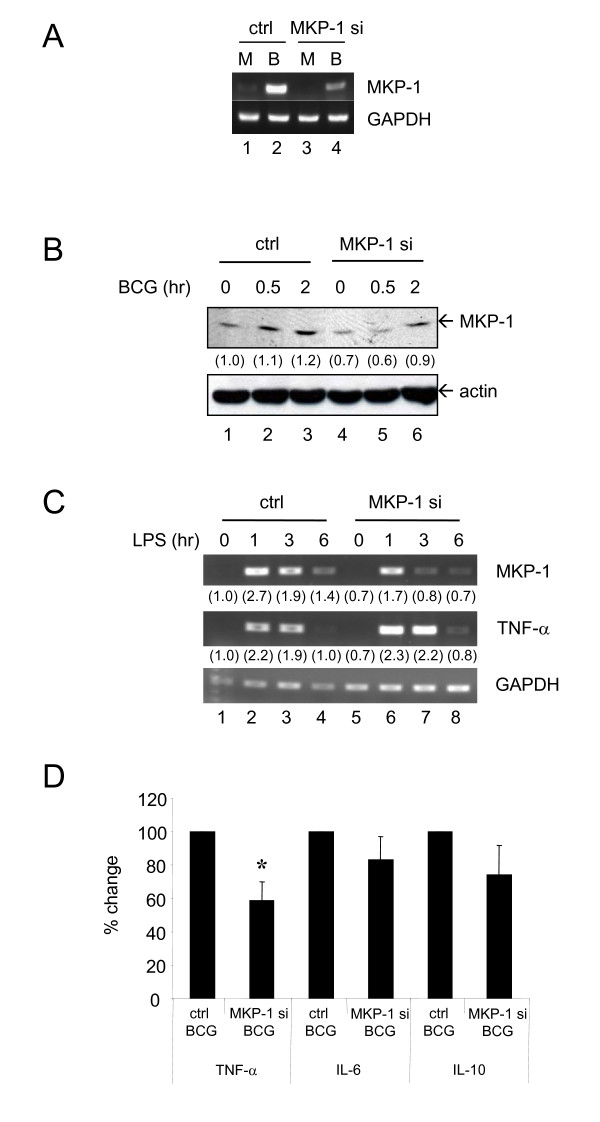 Transfection of MKP-1 siRNA into primary human blood monocytes can increase LPS-induced TNF-α level while decrease BCG-induced TNF-α expression . Cells were first transfected with control (ctrl) or MKP-1 siRNA (MKP-1 si, 200 nM) for 24 hours and then treated with different inducers as indicated. (A) After transfection, cells were treated with Mock (M) or BCG (B, MOI = 1 CFU/cell) for 3 hours. Levels of MKP-1 mRNA were measured by RT-PCR. (B) Monocytes were treated as in (A) for the indicated time points and MKP-1 proteins were measured by Western blotting. (C) Cells were treated with LPS (50 ng/ml) for the indicated time points. RNA was harvested, and levels of MKP-1 and TNF-α were measured by RT-PCR. For both (B) and (C), the intensities of the PCR/protein bands were determined by using Bio-Rad Quantity One imaging software. The intensities of bands were normalized to the corresponding control. The values in parenthesis are the relative normalized intensities compared to those of the control siRNA-transfected cells without other treatment. (D) BCG (MOI = 1 CFU/cell) was added for 3 hours. RNA was harvested and levels of TNF-α, IL-6 and IL-10 were measured by QPCR. Percentage change was defined as the percentage of the fold induction of (MKP-1 si + BCG) over the fold induction of (ctrl + BCG). Results of (ctrl + BCG) were set as 100%. For (A)-(C), independent experiments were done on monocytes from 3 different donors and one representative set of results is shown. For (D), experiments were performed on 4 different donors and the results are shown as mean ± SD. * = p