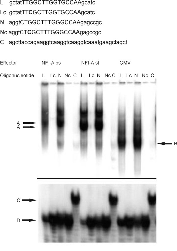 NFI-A binds to its full binding site in the mouse L1 gene in vitro . 32 P-labeled oligonucleotides used for EMSA: L: full NFI binding site in mouse L1 gene with flanking sequences; Lc: point-mutated variant of L; N: idealized NFI binding site with flanking sequences [ 18 ]; Nc: point-mutated variant of N; C: oligonucleotide without NFI recognition motif (SIS oligonucleotide). NFI binding site sequences are capitalized , point mutations are shown in boldface . The sequence of one strand is shown after the fill-in reaction. Oligonucleotides were incubated with extracts from CHO cells expressing NFI-A bs or NFI-A st, or from mock-transfected cells (CMV). Only the upper and lower parts of the autoradiogram are shown, the middle section, which did not exhibit any signals, was cut out for reasons of space. Arrows A: HA-NFI-A-DNA complexes; arrow B: complexes of endogenous NFI and DNA; arrows C and D: free oligonucleotide DNA. Note that that the free SIS oligonucleotide migrates slightly slower ( arrow C) than the other free oligonucleotides ( arrow D) due to its higher molecular weight.