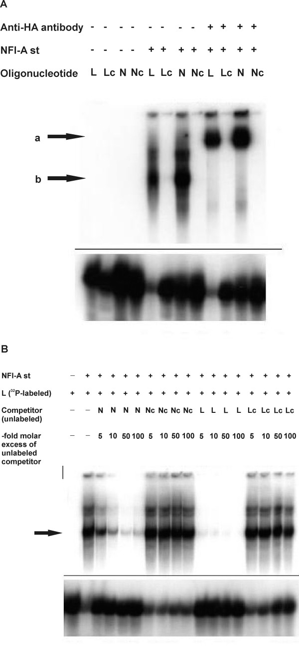 In vitro binding of NFI-A to its full binding site in the mouse L1 gene is confirmed by supershift and competition assays . EMSAs were performed with 32 P-labeled oligonucleotides indicated above the autoradiograms (for a description, see Fig. 3). In both images ( A-B ), only the upper and lower parts of the respective autoradiogram are shown, the middle sections, which did not exhibit any signals, were cut out for reasons of space. A , Supershift experiment. NFI-A st