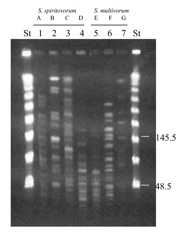 PFGE profiles of genomic DNA digested with ApaI of Sphingobacterium strains . From lanes 1 to 4: S. spiritovorum strains from A to D profiles, respectively. From lanes 5 to 7: S. multivorum strains from E to G profiles, respectively. Molecular size markers (a ladder of lambda phage DNA concatemers) were run in lanes St. Sizes are indicated in kilobases.