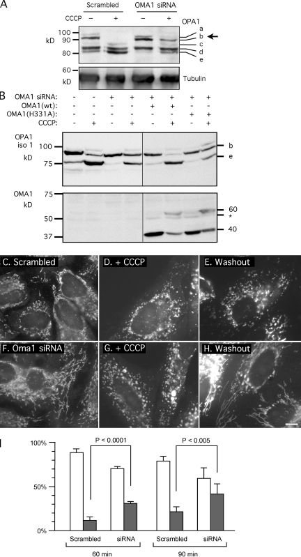 Effects of OMA1 on CCCP-induced cleavage of OPA1 and recovery of fusion competence after CCCP washout. (A) HeLa cells were transfected with OMA1 siRNA or scrambled oligonucleotides followed by 30 min with 10 µM CCCP (OMA1 RNA was reduced by 90%). CCCP-induced cleavage normally converts band b to band e, but this cleavage is inhibited by OMA1 siRNA (arrow). (B) Effects of Oma1 siRNA on CCCP-induced cleavage are suppressed by cotransfected wild-type OMA1 but not by the OMA1(H331A) mutant. Cotransfected OPA1 isoform 1 was detected with an myc tag ( Griparic et al., 2007 ). Isoform 1 is not cleaved by YME1L, but it is cleaved by OMA1, showing a CCCP-induced shift from band b to band e. OMA1 expression and the shift from 40- to 60-kD proteins are shown on the bottom. Black lines indicate that intervening lanes have been spliced out. (C–I) Effects of OMA1 siRNA on recovery from CCCP-induced mitochondrial fragmentation. HeLa cells were transfected with scrambled (C–E) or OMA1 siRNA (F–H). Mitochondria are normally filamentous (C and F) but fragment after 30 min with CCCP (D and G). At 90 min after CCCP washout, the filamentous morphology of mitochondria returns more quickly in OMA1 siRNA cells (H) than in control cells (E). (I) Percentages of cells with fully fragmented mitochondria (open bars) or with partial or full recovery of tubular mitochondria (closed bars) are shown at 60 or 90 min after washout. Means and SD were determined with six plates in two independent experiments (400 cells per plate). P-values were determined with an unpaired Student's t test. OMA1 expression was reduced by 70% (means with real-time PCR). Bar, 10 µm.