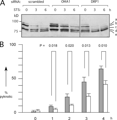 Effects of OMA1 siRNA on apoptosis. (A) HeLa cells were transfected with siRNA oligonucleotides followed by 0, 3, and 6 h with staurosporine (STS). Extracts were blotted and probed with OPA1 antibody. Staurosporine converts band b to band e, similar to CCCP-induced cleavage. OMA1 siRNA slows this process, whereas DRP1 siRNA does not, even though DRP1 siRNA inhibits apoptosis (detected with PARP and caspase cleavage; not depicted). The black line indicates that intervening lanes have been spliced out. (B) The effects of OMA1 siRNA on staurosporine-induced apoptosis were determined by counting the numbers of pyknotic nuclei in 300 cells for each time point. Mean values for three independent experiments are given with SD. The significance of differences between scrambled (closed bars) and OMA1 siRNA (open bars) was determined with an unpaired Student's t test.