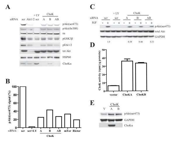 Choline kinase regulates Akt activity . A, MDA-MB 468 cells were transfected with 50 nM of the indicated pool siRNA. 3 days posttransfection, 50 μM LY294002 was added to scr transfected cells for 30 mins. Whole cell lysate were subjected to western blotting with the indicated antibodies. B, siRNA transfection and western blot were performed as (A). Percentage of pAkt(ser473) signal were calculated by quantifying the pAkt(ser473) normalized to total Akt on the immunoblot and compared to the scr control (set as 100%). C, MDA-MB 231 cells were transfected with 50 nM of indicated pool siRNA for 2 days. Cells were serum-starved overnight and stimulated with IGF for 15 mins. Whole cell lysates were harvested and western blot performed with the indicated antibodies. The values below the blot indicate the ratio of normalized pAkt(ser473) signals quantified using Image J to that of scr control (set as 1). D, MCF7 were transfected with 1 μg pcDNA vector, ChoK A or B plasmids for 24 h using Lipofectamine 2000 (Invitrogen). Cells were harvested and ChoK activity determined as described in the methods. E, MCF7 was transfected as in (D) and western blot with indicated antibodies.