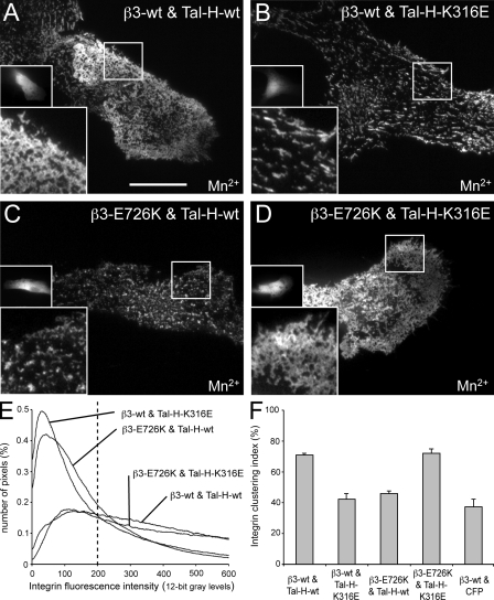 Complementation of integrin clustering by charge-inversion mutants. (A–D) Representative TIRF images (EGFP channel) of Mn 2+ -stimulated B16F1 cells cultured on serum-coated coverslips and coexpressing wild-type (wt; A and B) or E726K mutant (C and D) β3-EGFP-integrin together with wild-type (A and C) or K316E mutant (B and D) ECFP–Tal-H. Magnified views of the boxed areas and ECFP–Tal-H expression by epifluorescence are shown in the insets. Note the extensive integrin clustering in the wild-type/wild-type (A) and E726K/K316E condition (D). (E) Averaged ( n > 25) histograms of cells as shown in A–D. The dashed vertical line indicates the threshold used to calculate the integrin clustering index. (F) Mean integrin clustering index ( n > 3; SEM) of conditions as in A–D. Bar, 20 µm.