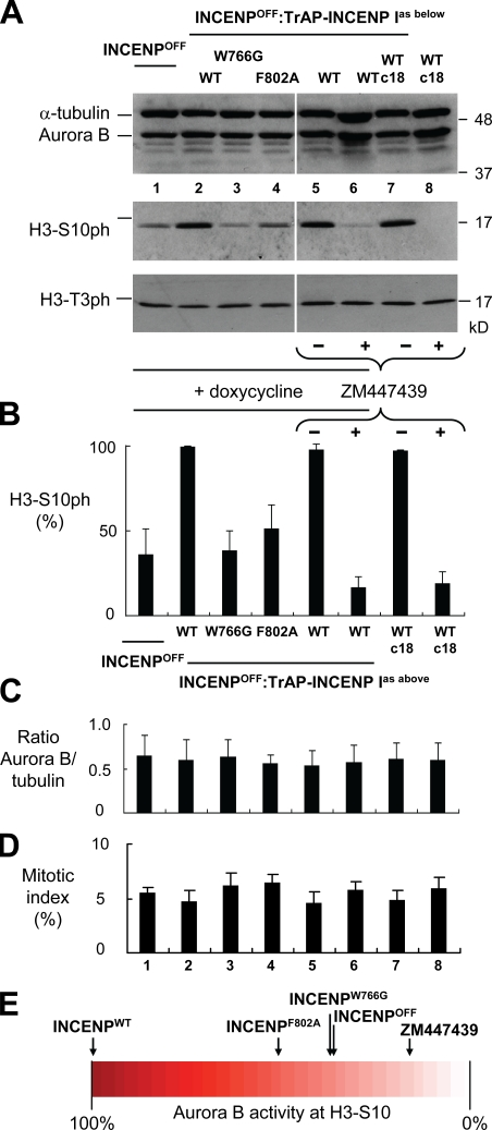 Quantitation of aurora B kinase activity in INCENP mutants. (A) Estimation of aurora B activity by immunoblotting. Asynchronous cells were harvested after treatment with doxycycline for 28 h or with 2 µM ZM447439 for 5 h ( Fig. S1 C ), and lysates were subjected to immunoblotting with the indicated antibodies. α-Tubulin and haspin kinase substrate H3T3ph are shown as controls. White lines indicate that intervening lanes have been spliced out. (B) Measurement of H3S10ph levels in the same samples using Odyssey. (C) Ratio of aurora B protein levels versus the loading control α-tubulin for each sample as measured using Odyssey. (D) Mitotic index of each cell line at the time of harvesting. (E) Diagram showing the relative levels of aurora B activity based on the level of H3S10ph measured using the Odyssey assay. WT, wild type. Error bars indicate SD.