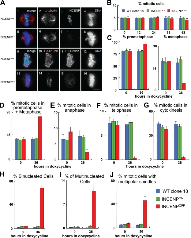 Phenotypic analysis of conditional INCENP knockout cell line. (A) Immunofluorescence images showing INCENP ON and INCENP OFF cells stained with specific antibodies recognizing endogenous INCENP (green; panels 3 and 7), α-tubulin (red; panels 2 and 6), and DAPI for DNA (blue; panels 4 and 8). After incubation with doxycycline for 26 h, endogenous INCENP was hardly detected (INCENP OFF ; panel 7). Panels 9–16 show immunofluorescence images of H3S10ph (green; panels 10 and 14) and H3S28ph (red; panels 11 and 15) plus DAPI for DNA (blue; panels 12 and16) in INCENP ON (panels 9–12) and INCENP OFF (panels 13–16) cells. Merged images are shown in panels 1, 5, 9, and 13. INCENP ON and INCENP OFF cells were harvested and fixed at the same time. Images were acquired using the same microscope settings for all experiments. Bar, 5 µm. (B) Mitotic indices of wild-type, INCENP ON , and INCENP OFF cells. (C) Scoring of mitotic cells in late prometaphase and metaphase where cells are bioriented and two spindle poles are on opposite sides. (D–G) Percentage of mitotic cells in prometaphase or metaphase (D), anaphase (E), telophase (F), or cytokinesis (G) is shown. (H–J) Percentage of binucleated cells (H), multinucleated cells (I), and mitotic cells with multipolar spindles (J) is shown. Error bars indicate SD.