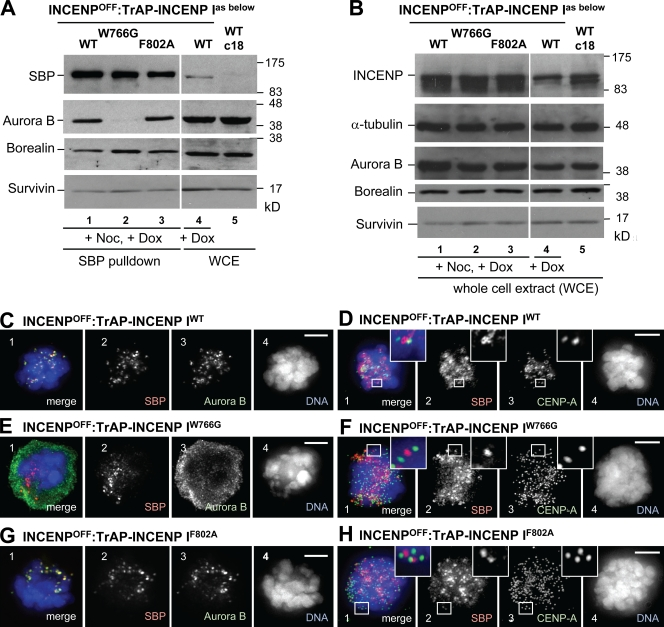 In vivo analysis of CPC formation. (A and B) INCENP ON/OFF cells stably expressing TrAP-tagged INCENP mutants were grown in doxycycline (Dox) to shut off expression of wild-type (WT) INCENP plus nocodazole (Noc; or not) to enrich for mitotic cells. (A) Immunoblots of streptavidin pull-downs with anti-SBP to reveal the proteins associated with INCENP. (B) Immunoblots of whole cell lysates with antibodies to INCENP (monoclonal antibody 3D3; Cooke et al., 1987 ) and the other passenger proteins. Equal numbers of cells were loaded per lane. α-Tubulin is used as a loading control. White lines indicate that intervening lanes have been spliced out. (C–H) Localization of exogenous TrAP-INCENP (red; panel 2) plus endogenous aurora B (green; C, E, G, and I [panel 3]) or CENP-A (green; D, F, H, and J [panel 3]) in INCENP OFF cells expressing TrAP-INCENP WT (C and D), TrAP-INCENP W766G (E and F), or TrAP-INCENP F802A (G and H). These images are of the nocodazole-treated cells used for the SBP pull-down experiment in A and B. (E) In all cases, the TrAP-INCENP localizes to centromeres, but only in INCENP OFF /TrAP-INCENP W766G cells is aurora B localization diffuse. Images were acquired using the same microscope settings for all experiments. Insets show magnified views of boxed regions. Bars, 5 µm.