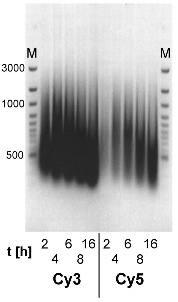 Incubation-time dependent degradation of aRNA. 5 μg of total RNA were amplified and labeled (either with Cy3-UTP or Cy5-UTP) with the T7-System for 2, 4, 6, 8 and 16 hours. The aRNA was separated on a denaturing agarose gel and photographed on a gel-imaging system. Fainter bands in the Cy5-labeled aRNA are due to quenching of Cy5-fluorescence by SybrGreen II and lower yield. M=Molecular weight marker.