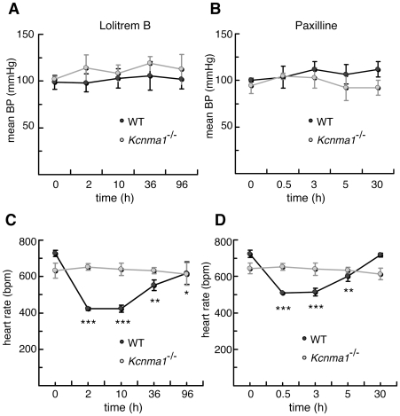 The effects of lolitrem B and paxilline on blood pressure and heart rate in Kcnma1 −/− mice and wild-type littermates. Inhibitors were added immediately after the control reading at time zero as indicated by the arrow. Mean blood pressure following treatment with (A) 4 mg/kg lolitrem B, or (B) 8 mg/kg paxilline. Heart rate following treatment with (C) lolitrem B, or (D) paxilline. Data are mean ± S.E.M. for n = 4 in each treatment group. Significance was tested using Tukey-Kramer post hoc test after a repeated measures analysis of variance. Asterisks indicate the significance of each treatment in wild-type mice compared with the pre-drug control at time = 0. *, P