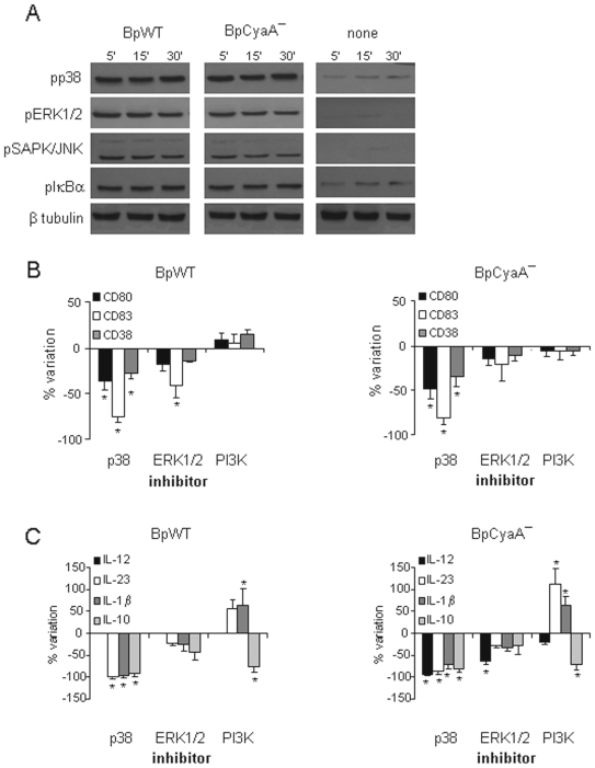 Analysis of MyD88 -dependent pathway induction. A MDDC were either untreated or treated with BpWT or BpCyaA−. Phosphorylation of p38, ERK1/2, SAP/JNK and IκB-α was determined at the indicated time-points by Western blot. A single gel was run and blotted to detect phosphorylated proteins and <t>β</t> tubulin to normalize the results. Data are from one representative out of four independent experiments performed with MDDC obtained from different donors. B MDDC were treated as in panel A, either in the absence or presence of p38 inhibitor (SB203580), ERK1/2 inhibitor (PD98059) or PI3K inhibitor (LY294002) for 48 h. Results of seven independent experiments performed with MDDC obtained from different donors are expressed as the percent of change of maturation markers (CD80, CD83, CD38) with respect to the corresponding stimulus in the absence of inhibitors. Mean ± SE of marker expression in MDDC not treated with inhibitors was for BpWT: CD80 (MFI) = 48±6; CD83 (%) = 23±6; CD38 (MFI) = 18±4; for BpCyaA−: CD80 (MFI) = 72±11; CD83 (%) = 36±7; CD38 (MFI) = 46±5. * p