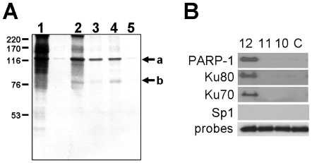 Identification of proteins that bind to the (CA) 12 oligonucleotide sequence in vitro . A. One mg of Dami nuclear extract protein was incubated with one of four biotinylated (CA) 12 oligonucleotide probes in binding buffer. Oligonucleotide/protein complexes were adsorbed to streptavidin-agarose beads, and the bound proteins were eluted, separated by SDS-PAGE and visualized using silver stain. The following protein samples are depicted: (lane1) Starting nuclear extract; (lane 2) Proteins bound to CA12 in the absence of calf thymus DNA; (lane 3) Proteins bound to CA12 in the presence of calf thymus DNA; (lane 4); Proteins bound to CA12 in the presence of calf thymus DNA+ 5-fold molar excess of control oligonucleotide; and (lane 5) Proteins bound to control oligonucleotide in the presence of calf thymus DNA. The two prominent protein bands with MWApp of 120 kDa and 80 kDa (positions indicated by arrows a and b, respectively, to the right of the panel) were excised and processed by MS/MS. Peptides recovered and sequenced by MS/MS are depicted in Figure S1 . The positions held by molecular weight standards (Amersham Biosciences, Pittsburgh, PA) are indicated to the left of the panel. B. Dami nuclear extract proteins were incubated in vitro with the biotin-conjugated oligonucleotide probes: CA12, CA11, CA10 or control oligonucleotide (C). The resultant oligonucleotide/protein complexes were pulled down with streptavidin agarose. Nuclear proteins present in the complexes were separated by SDS-PAGE and identified by western blotting using the specific antibodies indicated to the left of the figure. The presence of PARP-1, Ku80 and Ku70 was confirmed in this manner. Antibodies specific for Sp1 served as a negative control, since the oligonucleotides used in these assays does not contain the Sp1 binding site. To confirm comparable oligonucleotide loading, the same samples were electrophoresed in a 2% agarose gel and stained with ethidium bromide (probes; negative image).