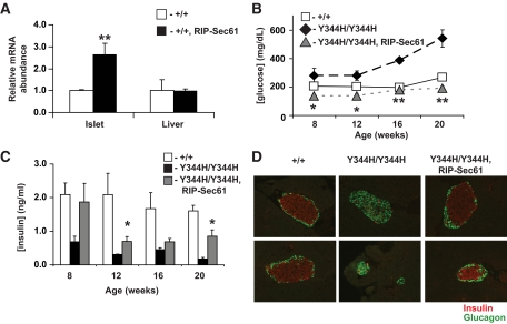 Transgenic rescue of diabetes in mutant mice by β-cell–specific expression of wild-type Sec61a1. A : Expression as assessed by qPCR of Sec61a1 in islets or liver of wild-type animals or animals transgenic for Sec61a1 driven by the rat insulin promoter (+/+, RIP-Sec61); n = 3 mice of each genotype, each measured in triplicate. Values shown are means ± SEM among animals of the same genotype. Statistical assessments were made using a single-factor (genotype) ANOVA; ** P