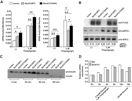 Mutant Sec61α1 sensitizes MIN6 cells to the effects of ER stress. A : MIN6 cells were transfected with either ERSE (left) or UPRE (right) firefly luciferase plasmid, the indicated Sec61 expression plasmid, and a CMV Renilla luciferase reporter plasmid treated with 1 μmol/l thapsigargin and assayed for reporter activation after 16 h using a luminometer. Assays were performed in triplicate and normalized to CMV Renilla activity. Values represent the means ± SD. B : MIN6 cells were transfected with the indicated Sec61 expression plasmid and then treated with 1 μmol/l thapsigargin for 4 h. Cells were lysed and Western blotting was performed with the indicated antibodies. Quantification of the Western signals is shown below the blots. C : Pulse-chase analysis of insulin processing in MIN6 cells transfected with the indicted expression plasmids. Cells were labeled for 20 min with 50 μCi of 35 S-labeled Met and chased for the indicated time points. The upper band corresponds to proinsulin, whereas the lower band corresponds to the fully processed form. D: <t>Sec61a1</t> and Bip gene expression in the MIN6 β-cell line and their upregulation in cells cultured in high-glucose media or in the presence of the ER stress-inducer thapsigargin (Tg). The x -axis shows the time in hours after the initial exposure of the cells to Tg or high glucose. Relative expression levels were determined by comparative Ct analysis. Values represent means ± SD.
