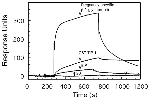 Surface plasmon resonance analysis of the binding of proteins to endonuclein . Endonuclein was immobilized to a sensor chip and the on and off rates for ligand binding were recorded on a BIAcore 2000. The recorded sensorgrams show binding of 1 μM of pregnancy specific β-1 glycoprotein, 5 μM recombinant TIP-1 as fusion peptide with glutathion S-transferase (GST-TIP-1), 1 μM BiP and 1 μM of pure glutathion S-transferase (GST) as a control. Interaction with endonuclein was verified with all proteins except GST which revealed no detectable binding.