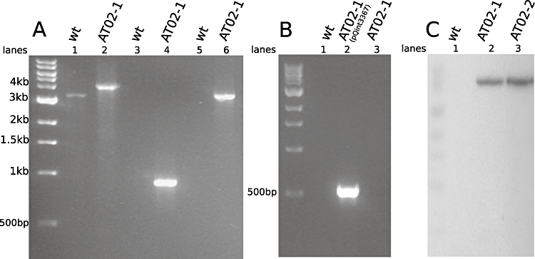 The intron insertion in c phy3367 of AT02 is both accurate and specific. A. PCR of the cphy3367 locus in wild-type and AT02-1 strains. The c phy3367 gene in AT02-1 contains a 900 bp insertion relative to wild type (lanes 1 and 2). Primers to amplify the genome–intron junctions yield PCR products in AT02-1, but not wild type, for both the 5′ junction (lanes 3 and 4) and the 3′ junction (lanes 5 and 6). B. PCR of the erm R gene from pQint3367 shows acquisition of the plasmid in AT02-1 following conjugation (lanes 1 and 2) and its loss by plasmid curing (lane 3). C. Southern blot probed with a 32 P-labelled intron probe reveals no band in wild type (lane 1) and a single intron insertion in two independent transconjugants, AT02-1 and AT02-2 (lanes 2 and 3). The single band shown in the AT02 lanes was the only one visible on the blot (100 bp to 10 kb).