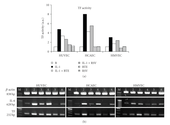 (a) TF activity was measured in the indicated treatments. Data are presented as arbitrary units, which indicate fold-change above background TF levels and were generated from the mean of three separate experiments. (b) mRNA expressions of β -actin, IL-6, and TF are shown from HUVEC, HCAEC, and HMVEC incubated with IL-1 β (1000 pg/mL) in the absence or presence of BTE (40 μ g/mL) and RSV (40 μ M). The treatments of cell cultures were background control (lane 1), IL-1 β 1000 pg/mL (lane 2), IL-1 β + BTE (lane 3), IL-1 β + RSV (lane 4), BTE (lane 5), and RSV (lane 6). Results shown are from one representative experiment of two separate ones performed.