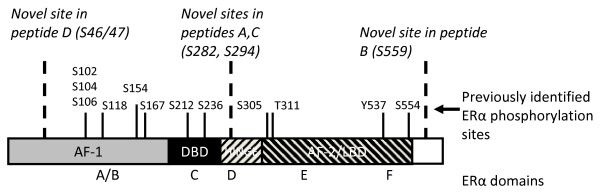 Estrogen receptor α (ERα) phosphorylation sites . The schematic in Figure 1 depicts both previously identified and novel ERα phosphorylation sites with relative locations within the ERα functional domains. Serines 104, 106, 118, and 167 constitute phosphorylation sites within the ligand-independent activation function-1 (AF-1) domain of ERα. S236 is the first phosphorylation site within the DNA binding domain of ERα. Serine 305, threonine 311 and tyrosine 537 are phosphorylation sites identified within the ligand-dependent activation function-2 (AF-2) domain. Indicated in bold italicized type are newly characterized phosphorylation sites of ERα: S46/47, S282, S294 and S559. S46/47 constitutes an additional site of phosphorylation within the AF-1 domain. Serines 282 and 294 are located in the hinge domain of ERα proximal to the DNA binding domain. Of note, S559 is the first phosphorylation site identified in the extreme C-terminal F domain of ERα and other steroid receptors. S154, S212, S294, S554, and S559 have been recently identified or independently confirmed by mass spectrophotometry (11).