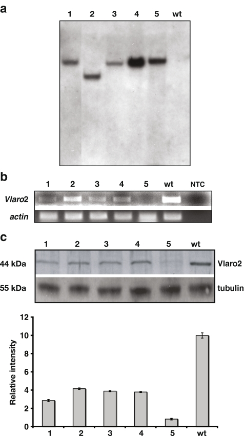 Characterization of the Vlaro 2 silenced mutants. a Southern hybridization analysis of Vlaro 2 silenced mutants to detect integration of T-DNA after A. tumefaciens -mediated transformation . Five Vlaro 2 silenced mutants ( 1 – 5 ) and wild-type ( wt ) gDNA was digested with Hin dIII and the hygromycin resistance gene was used as a probe. All mutants showed single integration of the gene. b RT-PCR analysis of Vlaro 2 mRNA expression in the Vlaro 2 silenced mutants. For RNA integrity, the actin gene was used as a control. 1 – 5 , Vlaro 2 silenced mutants; wt , wild type; NTC , no template control. c Western hybridization analysis of Vlaro 2 expression in the Vlaro 2 silenced mutants compared to the wild type. Proteins were extracted from the Vlaro 2 silenced mutants and wild type, ran on SDS-polyacrylamide gel, blotted and probed with N. crassa CS antibody. The same blot was stripped and probed again with Rat IgG tubulin antibody as a control. 1 – 5 , Vlaro 2 silenced mutants; wt , wild type. In the graph , CS expression was quantified and normalized against the tubulin level for the different samples using Kodak Molecular Imaging 4.05 software. Data represent average ± standard deviations of three experimental replicates