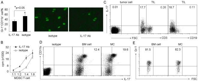 Mast cells regulate MDSCs through IL-17 pathway. (A) Blockade of IL-17 prevented mast cell-mediated MDSC infiltration to tumor. 5×10 6 BMMCs were injected into tumor-bearing mice by i.v. injection. IL-17 neutralizing antibody was i.p. injected to the mice 1 h, 2 days and 5 days after BMMCs injection. On day 7, the tumor-infiltrating lymphocytes were used to analyze Gr-1 + CD11b + MDSCs by flow cytometry (left). In addition, IL-17 neutralizing antibody was i.p. injected to the mice 24 h and 1 h before BMMCs injection. 2×10 6 CFSE-labeled MDSCs were injected into the mice two days later. The tumor tissues were surgically excised, and frozen sections were prepared and analyzed by fluorescence microscopy (right). (B) Blockade of IL-17 attenuated mast cell-mediated MDSC suppressive function. BMMCs were injected into tumor-bearing mice. IL-17 neutralizing antibody was i.p. injected to the mice at different time points. On day 7, tumor-infiltrating MDSCs were isolated for the suppression assay. (C) IL-17 was not expressed by H22 tumor cells, T cells or B cells. BMMCs were injected into tumor-bearing mice. Seven days later, tumor cells and TILs were isolated, respectively. The expression of IL-17 was analyzed by flow cytometry. (D and E) Mast cells upregulated the expression of IL-17 by MDSCs. Seven days after BMMCs injection, the isolated TILs were used for IL-17 expression analysis. The data showed the upregulation of IL-17 by CD11b + cells in BMMC group (D), and most of the gated IL-17 + cells expressed Gr-1 marker (E).