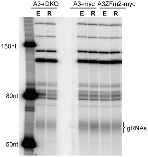 Loss of KREPA3 or mutation of KREPA3 ZF2 has no effect on gRNA levels. Total cellular RNA from KREPA3-RKO, RKO-KREPA3 WT-myc and ZFm2-myc cells with KREP3 Reg expressed (E) or repressed (R) were examined by a capping assay using guanylyltransferse and [α- 32 P]GTP. The similarly labeled ssRNA ladder was used to size the gRNAs which show their characteristics size heterogeneity due to their variable oligo-U tails.