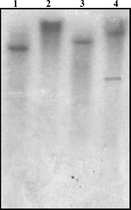 Southern blot analysis of S. rostrata genomic DNA. S. rostrata genomic DNA (25μg) digested with Eco RI (lane 1), Bam HI (lane 2), Xba I (lane 3), and Pst I (lane 4) was separated by agarose gel electrophoresis, blotted onto Hybond-N membrane and hybridized to the 32 P-labeled conserved SrPCS cDNA fragment (nt 47-919 of GenBank GQ204309).