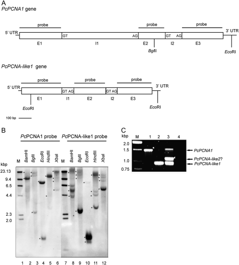 Southern blot and PCR analysis of P. coccineus genomic DNA. (A) Structure of PcPCNA1 and PcPCNA-like1 genes. The nucleotide sequences were analysed using WebGene software. Exons (E), introns (I), and 5′-UTR and 3′-UTR regions are marked. The border sequences of introns termini are placed in the boxes. The positions of internal sites recognized by restriction enzymes used in the Southern blotting analysis are marked. (B) Southern blotting results. 30 μg of the genomic DNA isolated from P. coccineus seedlings were digested with Bam HI (lanes 2 and 8), Bgl II (lanes 3 and 9), Eco RI (lanes 4 and 10), Hin dIII (lanes 5 and 11) or Xba I (lanes 6 and 12), separated in 0.8% agarose gel and subjected to Southern blot procedure with the Pc PCNA1 (lanes 2–6) or Pc PCNA-like1 (lanes 8–12) probe. Lanes 1 and 7: DNA molecular weight marker II Digoxigenin-labelled (Roche). Stars indicate position of DNA fragments detected with Pc PCNA probes. (C) PCR results. PCR was performed using degenerate primers and gDNA isolated from P. coccineus seedlings (lane 3), or plasmid pTZ57R\T DNA containing genomic sequence of the PcPCNA1 gene (lane 1) or of the PcPCNA-like1 gene (lane 2). In negative control, DNA template was omitted (lane 4). Lane M: DNA size standards (1 kb DNA ladder).