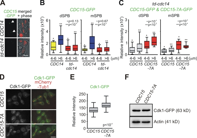 Cdc15 and Cdk1 show mutual regulation at the mSPB. (A) CDC14 and td-cdc14 cells harboring CDC15-GFP mCherry-TUB1 were examined for Cdc15-GFP localization in anaphase. The arrows highlight Cdc15-GFP at SPBs. Bar, 5 µm. (B and C) Anaphase cells of CDC14 CDC15-GFP, td-cdc14 CDC15-GFP , and td-cdc14 CDC15-7A-GFP were grown in YPAD and analyzed for GFP signal at SPBs. Quantified relative fluorescent intensities are summarized in box-and-whisker plots: boxes span between the 25th and 75th percentile with a line at the median; whiskers extend from the 10th to 90th percentile. P-values were calculated using unpaired t tests and indicate significant differences between * or ** marked bars. (B) n > 50 anaphase cells per strain. (C) n > 50 for CDC15-GFP cells and n = 24 for CDC15-7A-GFP cells. (D) CDC15 and CDC15-7A cells were grown in SC medium. Cells in anaphase were examined for Cdk1-GFP localization to SPBs. Bar, 5 µm. (E) Quantification of Cdk1-GFP signal at the mSPB. Relative fluorescent intensities in box-and-whisker plots as in B and C. n > 50 cells were analyzed per strain. (F) Cdk1-GFP protein levels measured with anti-GFP antibody and actin as loading control.