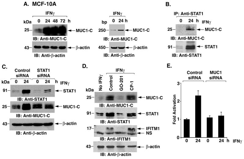Induction of MUC1 by IFNγ in MCF-10A cells is conferred by both STAT1 and MUC1 A. MCF-10A cells were treated with IFNγ for the indicated times. Lysates were immunoblotted with the indicated antibodies (left). MUC1 and, as a control, β-actin mRNA levels were determined by RT-PCR (right). B. MCF-10A cells left untreated or treated with IFNγ for 24 h were immunoprecitated with anti-STAT1. The precipitates were immunoblotted with the indicated antibodies. C. MCF-10A cells were transfected with control or STAT1 siRNA pools for 24 h and then left untreated or stimulated with IFNγ for 24. Lysates were immunoblotted with the indicated antibodies. D. MCF-10A cells were left untreated and treated with 5 μM GO-201 or CP-1 for 3 days and then stimulated with IFNγ for 24 h. Whole cell lysates were immunoblotted with the indicated antibodies. NS: non-specific band. E. MCF-10A cells were transfected with control or MUC1siRNA pools for 72 h. The transfected cells were left untreated or stimulated with IFNγ for 24 h. Total cellular RNA was analyzed for IFITM1 expression by real-time RT-PCR. The results are expressed as the fold activation (mean±SD from three experiments) compared with that obtained with cells transfected with the control siRNA and left untreated (assigned a value of 1).