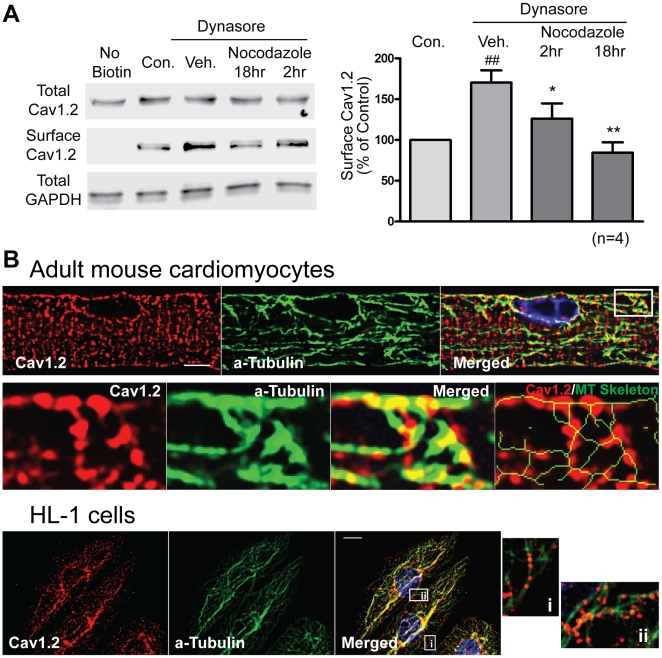 Antegrade trafficking of Cav1.2 is microtubule dependent. (A) Surface biotinylation of adult mouse cardiomyocytes indicates that nocodazole (30 µM) progressively reduces surface Cav1.2 expression in the presence of an endocytosis inhibitor dynasore (20 µM). Note that dynasore alone significantly increases surface expression of Cav1.2 by blocking dynamin-dependent endocytosis of Cav1.2 in cardiomyocytes. (B) Top panel: Confocal images (100×) of mouse cardiomyocytes stained with rabbit anti-Cav1.2 (red) and mouse anti-α-tubulin (green) reveal localization of Cav1.2 on microtubule network (scale bar: 5 µm). Bottom panel: Deconvolution of wide-field image of HL-1 cells stained with Cav1.2 (red) and α-tubulin (green). Merged image shows localization of Cav1.2 to the microtubule network. Enlarged pictures (right) indicate that Cav1.2 is distributed along microtubules (## p