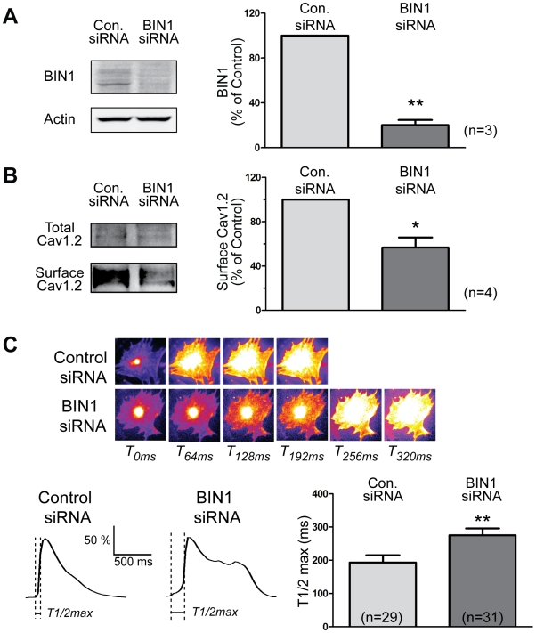 BIN1 knockdown delays calcium transient development in mouse cardiomyocytes. (A) Western blot indicates an 80% knockdown of BIN1 protein by siRNA in differentiated mouse cardiomyocytes. (B) Surface biotinylation of Cav1.2 in these primary cardiomyocytes indicates a 45% reduction of surface Cav1.2 after BIN1 knockdown. (C) Live cell calcium imaging in differentiated cardiomyocytes indicates that BIN1 knockdown also delays calcium transient development in these cells. Average time to 50% maximal fluorescence intensity (T1/2 max) of calcium transient is presented in the left panel (* p