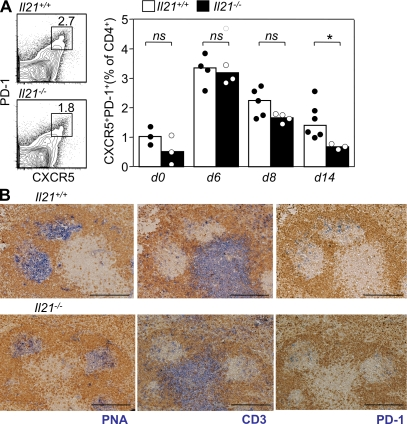 IL-21–deficient mice form Tfh cells after immunization, but their maintenance is impaired. (A) Flow cytometric contour plots and graphical analysis of CXCR5 + PD-1 + Tfh cells gated on CD4 + B220 − live lymphocytes from Il21 +/+ and Il21 −/− mice at the indicated time points after SRBC immunization (percentages are shown). (B) Photomicrographs of spleen sections taken from Il21 +/+ (top) and Il21 −/− (bottom) mice 8 d after immunization with SRBCs. In all panels, IgD is stained in brown; blue color stains indicate PNA binding (left), CD3 (middle), and PD-1 (right). Bars, 200 µm. Statistically significant differences are indicated (*, P ≤ 0.05). Data are representative of two independent experiments, each symbol represents one mouse, and tops of bars are drawn through the median values. ns, not significant.