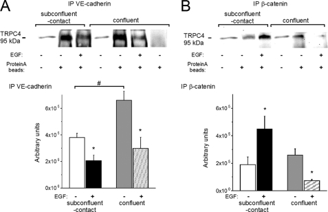 Association of VE-cadherin and β-catenin with TRPC4 depends on cell-cell contact formation. A , top , TRPC4 was detected in total cell lysates (from the left , lanes 1 and 4 ) immunocomplexes precipitated with anti-VE-cadherin ( lanes 2 , 3 , 5 , and 6 ) and lysates precipitated only with beads ( lane 7 ). Results are a representative of four experiments. Bottom , mean values ± S.E. of the TRPC4 immunoreactivity detected in precipitates obtained from cells before and after stimulation with EGF (100 ng/ml, 20 min). B , top , TRPC4 was detected in total cell lysates (from the left , lanes 1 and 4 ), immunocomplexes precipitated with anti-β-catenin ( lanes 2 , 3 , 5 , and 6 ), and lysates precipitated only with beads ( lane 7 ). Results are a representative of four experiments. Bottom , mean values ± S.E. of the TRPC4 immunoreactivity detected in precipitates obtained from cells before and after stimulation with EGF (100 ng/ml, 20 min). * and #, statistically significant differences ( p
