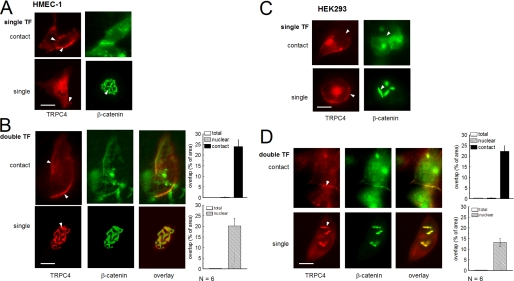 Cell-cell contact formation and β-catenin expression determines the cellular targeting of TRPC4. Fluorescence images of single ( top images ) or contact-forming ( bottom images ) HMEC-1 ( A and B ) and HEK293 ( C and D ) cells transfected with either CFP-TRPC4 ( red ) or GFP-β-catenin ( green ) alone ( A and C ) or double transfected with both constructs ( B and D ). The arrows indicate enhanced fluorescence of CFP-TRPC4 or GFP-β-catenin, respectively. A , fluorescence images of single transfected ( single TF ) HMEC-1 cells. B , fluorescence images of double transfected ( double TF ) HMEC-1 cells. C , fluorescence images of single transfected HEK293-cells. D , fluorescence images of double transfected HEK293 cells. Images from cells expressing GFP and CFP have been normalized for channel bleed-through by linear spectral unmixing. Scale bars , 10 μm. For B and D , relative values of fluorescence overlap as a measure for co-localization are shown for defined cellular regions (total cell, nuclear region, and cell-cell contact area). The columns represent the overlap of the two fluorophores (percentage of pixels) within selected cellular areas (mean ± S.E.).