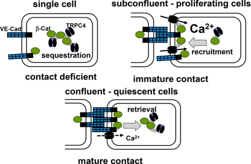 Proposed model of phenotype-dependent TRPC4 function in growth factor-stimulated endothelial cells via interaction of the channel with β-catenin and targeting into cell-cell contacts. TRPC4 is for a large part sequestered in intracellular compartments and unavailable for Ca 2+ signaling in single cells ( contact deficient ; upper left ). By contrast, formation of immature cell adhesions promotes surface targeting of β-catenin-TRPC4 complexes and enables further recruitment of channels into the plasma membrane and Ca 2+ entry function ( immature contact ; upper right ). Once mature barriers are formed ( mature contact ; lower panel ), TRPC4 resides for a large part in junctional complexes that are rapidly retrieved from the cell surface during growth factor stimulation and are barely available for contribution to global Ca 2+ signaling.