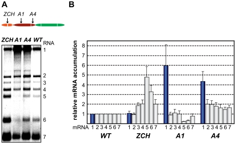 Multiple mutations in nsp1 exert species-specific effects on viral mRNA accumulation. (A, B) Gel hybridization analysis and quantification of EAV-specific mRNA accumulation in cells transfected with the ZCH, A1, A4 mutant or a wt control. (A) Viral mRNA accumulation was analyzed at 11 h post-transfection by gel hybridization as described in the legend to Fig. 3 . (B) The accumulation levels of each viral mRNA in the nsp1 mutants were quantified by phosphorimaging in the linear range of exposure and normalized to the level of accumulation of each corresponding viral mRNA in the wt control, which was set at 1. Genomic RNA levels are represented as blue bars. The relative values correspond to the means from three independent transfections and error bars denote standard deviation.