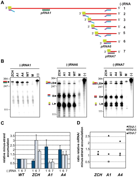 Minus-strand RNA accumulation is also modulated by mutations in nsp1. (A–D) Analysis and quantification of EAV minus-strand accumulation by a two-cycle RNase protection assay. (A) Schematic representation of the nested set of viral minus-strand RNA [(−)RNA] species produced in EAV-infected cells. The anti-leader sequence is depicted in light green. The in vitro-transcribed plus-strand probes used for detection of (−)RNA1 (pRNA1), (−)RNA6 (pRNA6) and (−) RNA7 (pRNA7) are shown. pRNA6 and pRNA7 target the leader-body junction sequences of (−)RNA6 and (−)RNA7, respectively. Note that hybridization with pRNA1 results in the protection of a single fragment, while the probes for (−)RNAs 6 and 7 each protect three fragments – one derived from the full-length sg minus strand, and two fragments derived in part from partial hybridization of these probes to larger viral (−)RNAs in which the target sequences are noncontiguous (exemplified for pRNA6). For simplicity, non-EAV sequences present near the termini of the three probes were omitted from the scheme. (B) Viral (−)RNA accumulation was analyzed at 11 h post-transfection for the ZCH, A1 and A4 mutants, and a wt control. Protected fragments were resolved on denaturing 5% polyacrylamide/8M urea gels and visualized by phosphorimaging. The constructs analyzed are labeled above the lanes (M, mock-transfected cells; (−), no-RNase control that shows a band corresponding to 0.2 fmol of the full-length probe). Sizes (nt) of RNA markers have been indicated on the left. The single 327-nt protected fragment resulting from hybridization with the positive-sense probe for RNA1(−) is indicated. The probes for subgenome-length minus strands protected fragments derived from the full-length (−)RNA6 and (−)RNA7 (327 nt and 319 nt, respectively; denoted with LB), as well as from the (−)RNA6 and (−)RNA7 body sequences (188 nt and 180 nt, respectively; denoted with B) and the anti-leader sequence (139 nt; denoted with L). The presence of two band