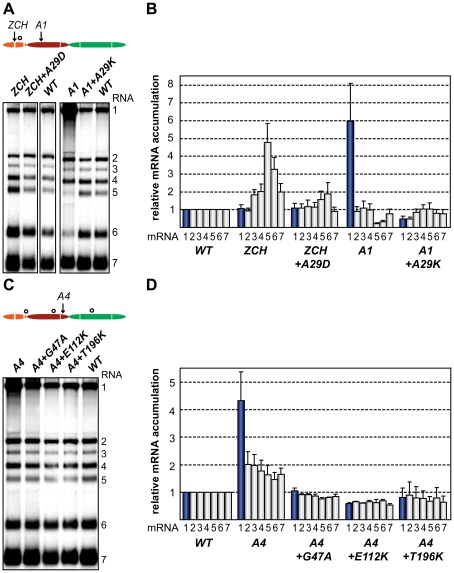 Second-site mutations in nsp1 moderate species-specific defects in mRNA accumulation. (A–D) Gel hybridization analysis and quantification of EAV-specific mRNA accumulation. (A) BHK-21 cells were transfected with ZCH and A1 mutants, reconstructed pseudorevertants, and wt controls. The positions of the originally mutated amino acid clusters are indicated with arrows; the open circle denotes the position of second-site mutations. Viral mRNAs were analyzed 11 h post-transfection by gel hybridization as described above. (B) For ZCH+A29D and A1+A29K, the accumulation levels of each viral mRNA were quantified by phosphorimaging and the values were normalized to the wt level of accumulation of each corresponding viral mRNA from the same experiment, set at 1. Genomic RNA levels are shown as blue bars. The relative values correspond to the means from three independent transfections and error bars denote the standard deviation. The relative accumulation levels of viral mRNAs at 11 h post-transfection for the ZCH and A1 mutants are derived from Fig. 4B and are represented here to facilitate comparison between mutant and pseudorevertant phenotypes. (C) BHK-21 cells were transfected with the A4 mutant, reconstructed pseudorevertants and a wt control. The positions of the originally mutated amino acid cluster and the second-site mutations are indicated as in (A). Viral mRNAs were analyzed 11 h post-transfection. (D) For A4+G47A, A4+E112K, and A4+T196K, quantification of relative viral mRNA accumulation levels was performed as described in (B). Similarly, the relative accumulation levels of viral mRNAs at 11 h post-transfection for the A4 mutant derived from Fig. 4B are represented to facilitate comparison.