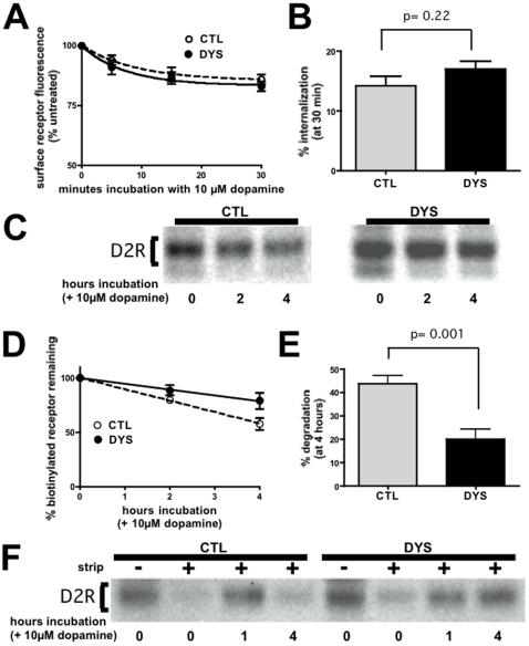Dysbindin knockdown specifically inhibits proteolysis of internalized D2 receptors without detectably inhibiting receptor internalization. A. Flow cytometric analysis of dopamine-induced internalization of D2 dopamine receptors. Stably transfected HEK293 cells expressing FLAG-D2R, exposed for the indicated time periods to 10 µM dopamine, were analyzed by surface antibody labeling and flow cytometry. Loss of surface receptor immunoreactivity was used to assess ligand-induced internalization in cells transfected with dysbindin siRNA (DYS) and compared to cells transfected with a non-silencing control duplex (CTL). Points represent averaged values (normalized to cells not exposed to dopamine (t = 0) from ≥5 experiments and error bars indicate S.E.M. B. Fractional internalization measured after exposure cells to 10 µM dopamine for 30 min, showing the lack of significant difference between CTL and DYS conditions. C. Surface biotinylation experiment showing that dysbindin knockdown inhibits dopamine-induced proteolysis of FLAG-D2Rs. D. Quantification of time-dependent loss of surface-biotinylated FLAG-D2R in cells incubated for the indicated time period after surface biotinylation in the presence of 10 µM dopamine. E. Comparison of D2R degradation measured at the 4 hour time point over multiple experiments (n = 8), verifying the statistical significance (p = 0.001 by Student's t-test) of the observed inhibition. F. Biotin protection-degradation assay showing that dysbindin knockdown specifically inhibits degradation of D2Rs after internalization.