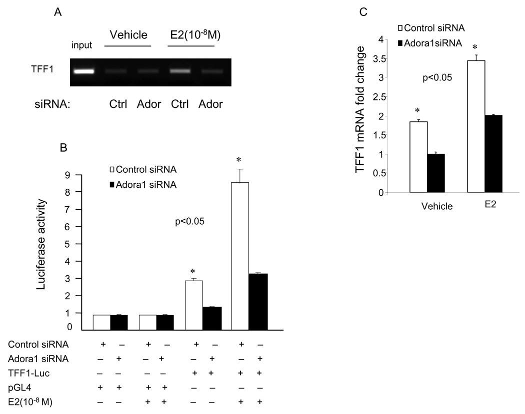 Silencing of Adora1 in MCF-7 cells leads to reduced binding of ERα to TFF1 promoter, TFF1 promoter driven luferase activity, and mRNA expression of TFF1. (A) Knock-down of Adora1 results in decreased binding of ERa to the TFF1 promoter. B) siRNA knock-down of Adora1 expression decreases ERα-stimulated transcriptional activation of the TFF1 promoter. MCF-7 cells were co-transfected with a TFF1-Luc reporter or pGL4 vector (200ng), pCMVβGal (80ng), and either control or Adora1 siRNA (100 nM) in the presence or absence of E2 (10 −8 M) overnight. C) Adora1 silencing results in significantly decreased TFF1 expression. MCF-7 cells were transfected either with control or Adora1 siRNA (100 nM) and treated with vehicle or E2 (10 −8 M) overnight. Cells were then lysed, total RNA was extracted, and mRNA levels of Adora1 were measured by real-time PCR and normalized to GAPDH. Data represent the average of 3 replicates ± SD (*, p