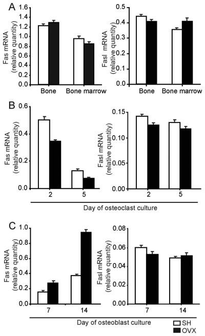 """Gene expression of Fas and Fasl in bone, bone marrow, osteoblast, and osteoclast lineage cells in wild-type mice 4 weeks after ovariectomy (OVX) (A) Expression of Fas/Fasl mRNA in bone and bone marrow. (B) Expression of Fas/Fasl mRNA in osteoclastogenic cultures. (C) Expression of Fas/Fasl mRNA in osteoblastogenic cultures. Expression was calculated according to the standard curve for Fas/Fasl expression in the calibrator sample (cDNA from bone, bone marrow, osteoblastogenic or osteoblastogenic cultures), and normalized to the mRNA quantity for β-actin (""""endogenous"""" control). Results are arithmetic mean±SD of real-time PCR reaction duplicates prepared from the same sample of the representative experiment."""