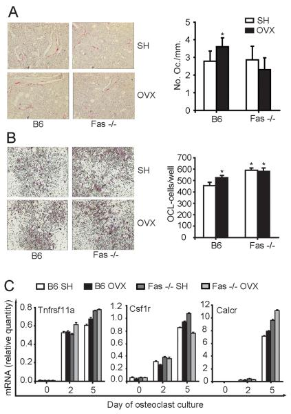 """Osteoclastogenesis in wild-type (B6) and Fas deficient (Fas −/−) mice 4 weeks after ovariectomy (OVX) Osteoclastogenesis in vivo was assessed by histomorphometric analysis of distal femoral sections from sham-operated (SH) and OVX B6 and Fas −/− mice stained histochemically for the activity of tartrate-resistant acid phosphatase (TRAP). Osteoclastogenesis in vitro was assessed in cultures prepared from bone marrow of SH and OVX B6 and Fas −/− mice. (A) Number of TRAP positive osteoclasts per millimeter bone perimeter in distal femoral metaphyseal sections (mean±SD, t-test, *p≤0.03 vs. SH mice). (B) Number of TRAP positive osteoclasts (mean±SD, t-test, *p≤0.02 vs. SH B6 mice) on day 6 of cell culture. (C) Gene expression pattern in osteoclastogenic cultures from SH and OVX B6 and Fas −/− mice. For each time point in each group, cells were cultured in quadruplicates and pooled for RNA isolation. Day 0 represents gene expression in freshly isolated bone marrow cells. Values were calculated according to the standard curve of gene expression in the calibrator sample <t>(cDNA</t> from osteoclastogenic cultures) and normalized to the expression of the gene for β-actin (""""endogenous"""" control). Results are arithmetic mean±SD of real-time <t>PCR</t> reaction duplicates prepared from the same sample of the representative experiment. Csf1r, colony stimulating factor 1 receptor; Calcr, calcitonin receptor; Tnfrsf11a, tumor necrosis factor receptor superfamily member 11a, RANK."""