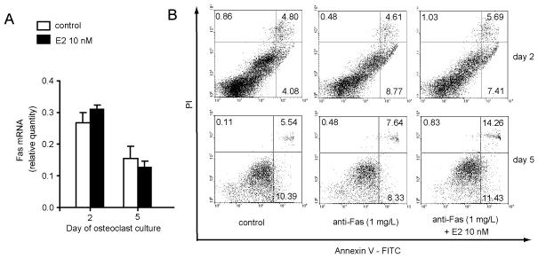 """Estradiol does not influence Fas mediated osteoclast apoptosis Osteoclastogenic cultures were prepared from bone marrow of wt mice and treated with 0.5 μg/mL of anti-Fas antibody (Jo-1) and 5 μg/mL protein G at day 1 and 4. Cells treated with 0.5 μg/mL normal hamster IgG, and 5 μg/mL protein G were used as negative controls. 10 nM estradiol was added to osteoclastogenic cultures with each medium exchange and a corresponding volume of ethanol (used as a solvent for estradiol) was used as a negative control. (A) Expression of Fas in osteoclastogenic cultures after treatment with estradiol. Values were calculated according to the standard curve of gene expression in the calibrator sample (cDNA from osteoclastogenic cultures) and normalized to the expression of the gene for β-actin (""""endogenous"""" control). Cell treatment was performed in six wells and three wells were pooled for RNA isolation. Results are arithmetic mean±SD of relative Fas mRNA expression in two pooled samples. (B) Representative data of the Annexin V-FITC/PI labeling of apoptotic cells. Numbers represent percentages of cells in each quadrant. Apoptotic cells are in the lower right quadrant, and dead cells are in the upper right quadrant."""