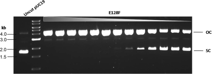 DNA nicking activity of top-strand nicking BtsCI variant. Two-fold serial dilutions of the cell extract of BtsCI nicking variant E128F were incubated with pUC19 as described in 'Materials and Methods' section. The cleavage products were analyzed on a 1% agarose gel. OC, open circle; SC, supercoiled.