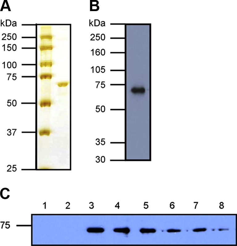 Purification of recombinant bovine Hsp70 and formation of Hsp70:peptide complexes. (A) Purified Hsp70 (1 μg) was resolved by SDS-PAGE on a 10% gel and detected by silver staining. Left hand lane indicates molecular weight markers. (B) Purified Hsp70 (250 ng) was analysed by Western blot using an anti-Hsp70 monoclonal antibody (SPA-810, Stressgen). (C) 2 μM Hsp70 was incubated with 60 μM biotinylated peptide and increasing amounts of unlabelled peptide in 55 μL PBS at 37 °C for 1 h to form complexes. Fractions containing an equivalent of 1 μg Hsp70 were resolved by non-reducing SDS-PAGE on a 10% gel, followed by Western blot analysis using streptavidin-HRP to detect biotinylated peptide. Controls of Hsp70 and biotinylated peptide only were run in lanes 1 and 2 respectively. Lanes 4–8 additionally contain unlabelled peptide at 6 μM, 60 μM, 150 μM, 300 μM and 600 μM (0.1×, 1×, 2.5×, 5× and 10× molar concentration of labelled peptide). (A color version of this figure is available at www.vetres.org .)
