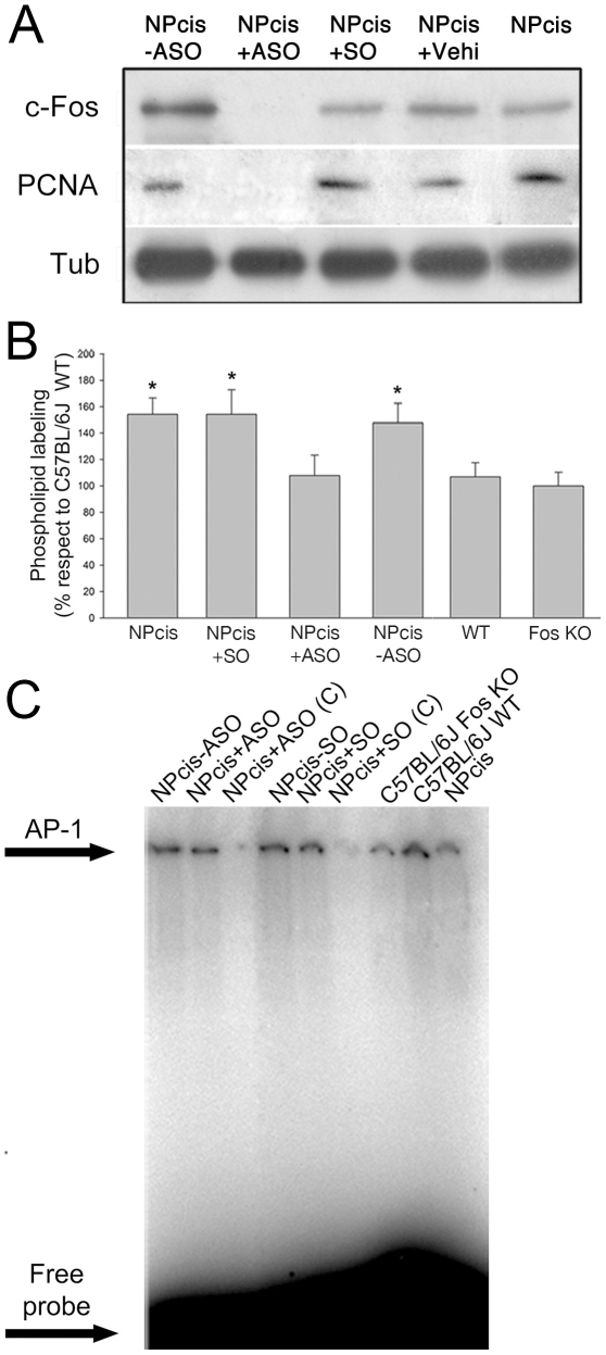 Phospholipid synthesis activation and AP-1 content in NPcis mice brain as compared to C57BL/6J WT or <t>fos</t> (−/−) KO mice. ( A ) NPcis mice at 4 months of age showing clear PNS tumor burden were treated during 28 days with ASO, SO or vehicle dispensed by an osmotic pump into the caudate putamen (CP) (see Materials and Methods ). After treatment, animals were sacrificed and CP examined by WB for c-Fos and <t>PCNA</t> expression, the latter as an indication of the proliferative status of the tissue. The first two lanes correspond to CP from the left (non-treated) and right (ASO-treated) brain hemispheres from the same NPcis mouse. The 3rd and 4th lanes correspond to the CP from the right, SO-treated or vehicle-treated hemisphere from NPcis mice. The last lane corresponds to CP from a non-treated NPcis mouse. One experiment representative of two performed is shown. Tubulin was stained as a loading control. ( B ) Phospholipid synthesis was measured in vitro in CP from NPcis mice non-treated (1st column), or treated during 28 days as indicated in (A) with SO (2nd column) or from NPcis mice treated only in the right hemisphere with ASO (3rd column, NPcis+ASO) and compared to CP from the left hemisphere of the ASO-treated animals (4th column, NPcis –ASO) or to WT (5th column) or C57BL/6J fos (−/−) KO mice (last column), as indicated. Results are the mean ± SD of two independent experiments performed in triplicate; *p