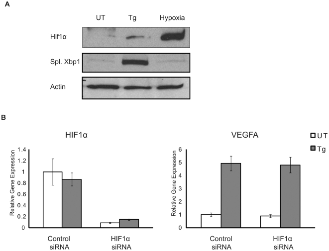 Hif1α is not required for VEGFA induction under ER stress. ( A ) HepG2 cells were treated with either thapsigargin (Tg, 1 µM) 5 hr or hypoxia (0.5% O 2 ) for 24 hrs. Nuclear lysates were extracted and analyzed using anti-Hif1α and anti-Xbp1 antibodies. Spliced Xbp1 (55 kD) band is shown here. ( B ) HepG2 cells were transfected with scramble (Control) or Hif1α siRNA. 18 hrs post-transfection, cells were treated with thapsigargin (Tg, 1 µM) for 4 hrs. Total mRNA was collected and expression levels of Hif1α and VEGFA were measured by quantitative PCR (n = 3, values are mean ± SD).