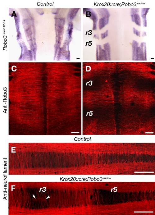 Rhombomere-specific deletion of Robo3. Whole-mount control (A, C, and E) or Krox20::cre;Robo3 lox/lox (B, D, and F) E12 embryos hybridized with a Robo3 riboprobe covering exons 12–14 (A and B) or immunostained with anti-Robo3 (C and D) or anti-neurofilament (E and F) antibodies. (B) In Krox20::cre;Robo3 lox/lox embryos, Robo3 exon12-14 transcripts are not expressed in rhombomeres 3 (r3) and 5 (r5). (C and D) Likewise, there is a severe reduction of Robo3 immunoreactive commissural axons in r3 and r5. (E and F) Anti-neurofilament immunostaining confirms the strong reduction of commissures in r3 and r5. The arrowheads in (F) indicate axons that abnormally follow the midline. Scale bars represent 100 µm.